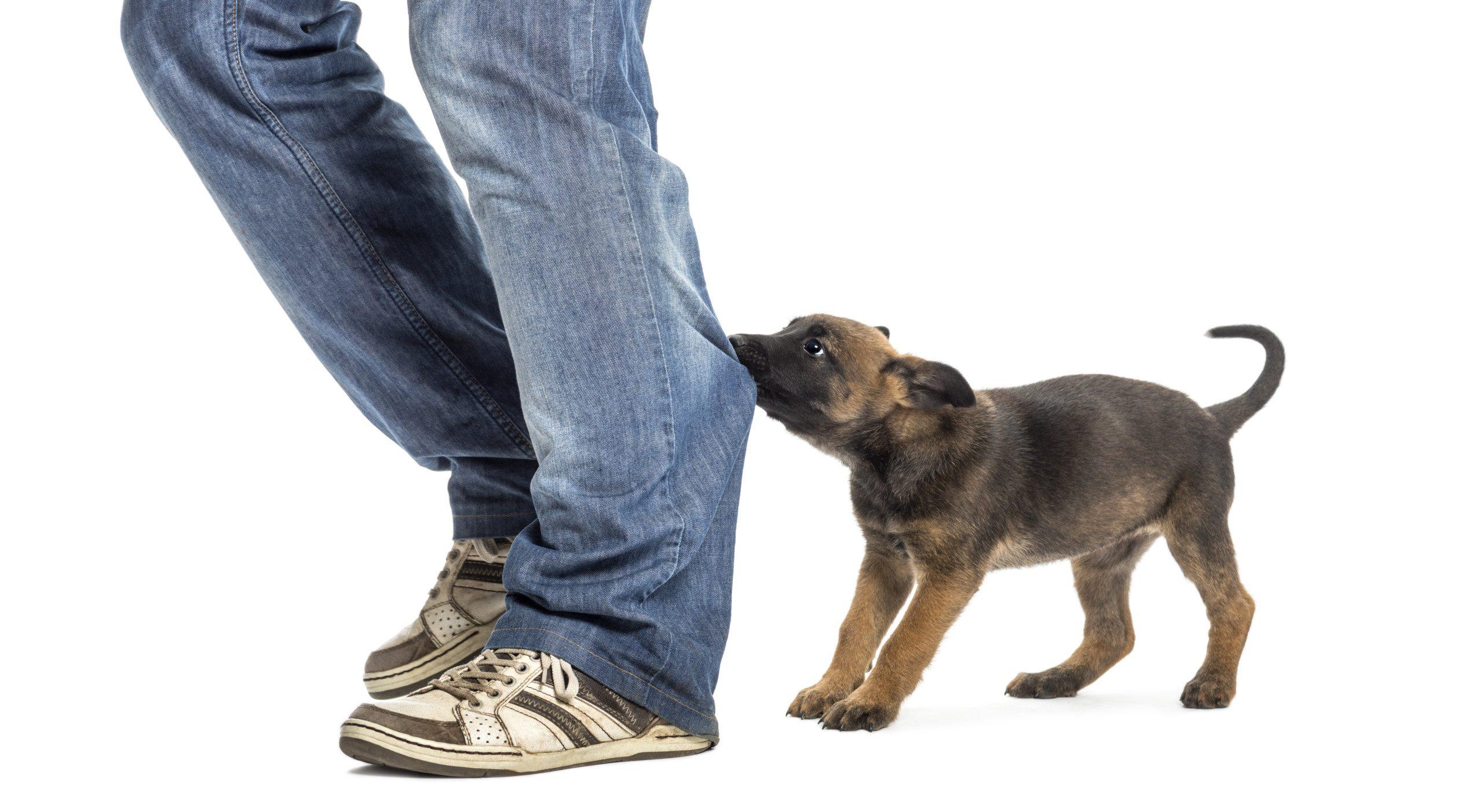 Dog Biting Leg